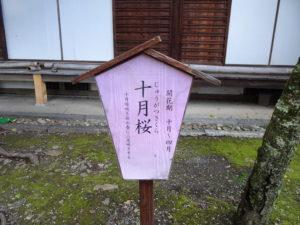 平野神社十月桜