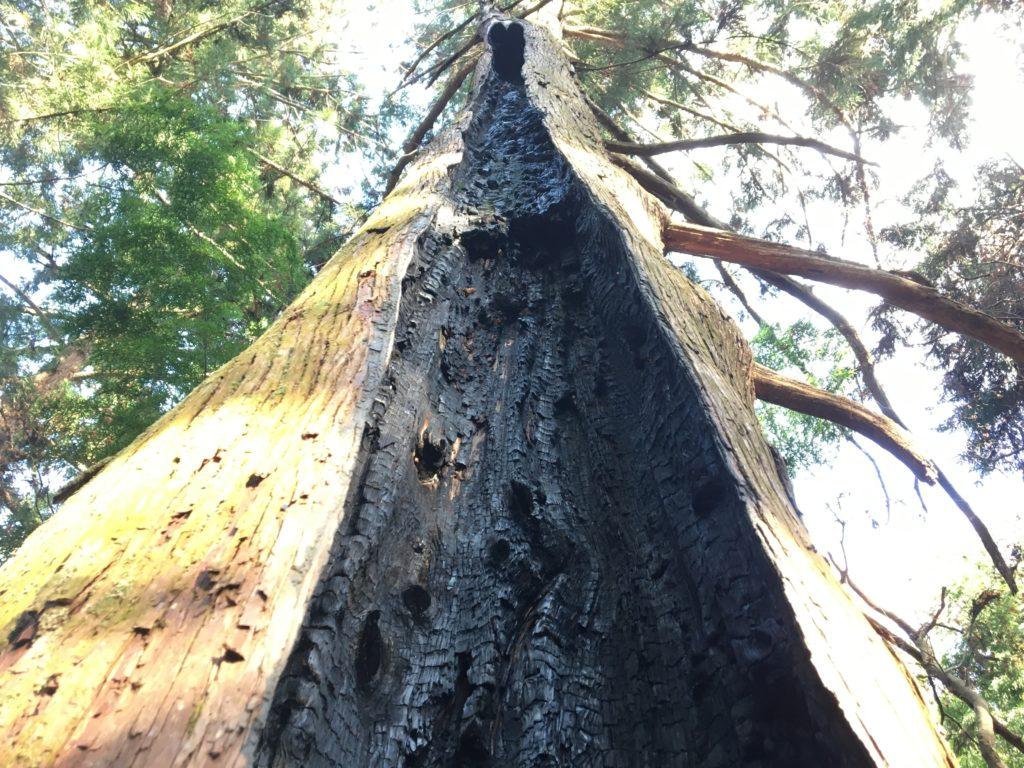首塚大明神雷に打たれた杉の木