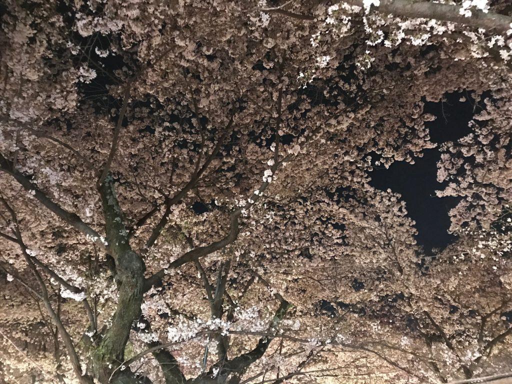 平野の夜桜1