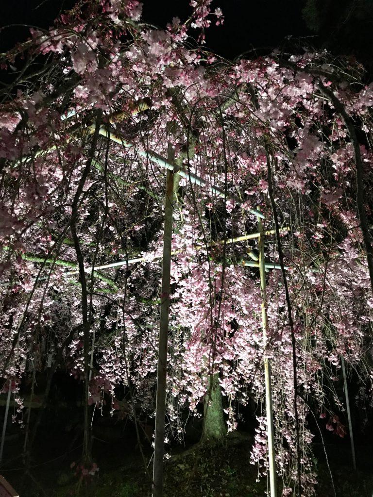 平野の夜桜2